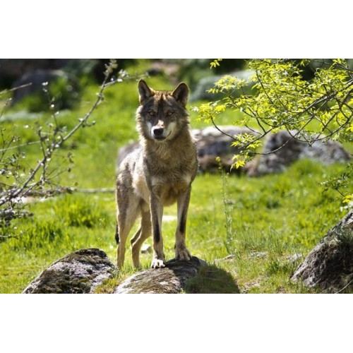 Cass Creek Reclamo digital Predator